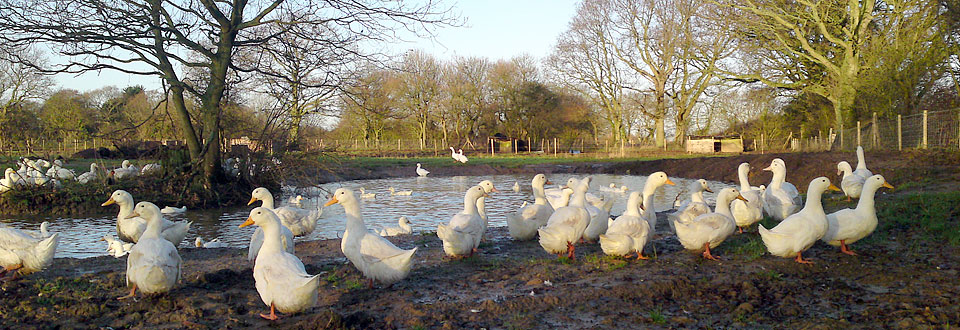 Fresh poultry & ducks in East Sussex