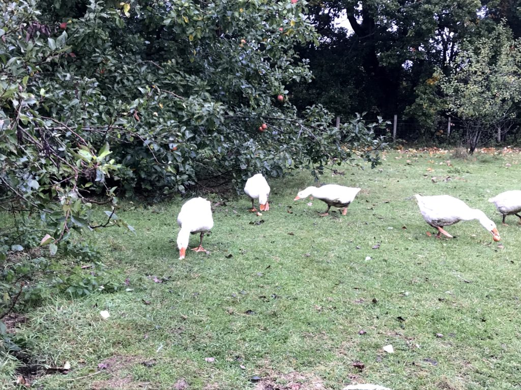 Norfolk Geese For Sale